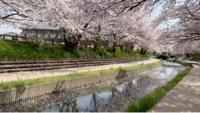 元荒川堤桜並木